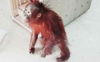 Orangutan bernama Taymur yang berumur 3 tahun saat hendak dimasukkan ke kandang untuk dibawa ke Kalteng.