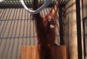 Orangutan bernama Taymur saat berada di Yayasan Borneo Orangutan Survival Foundation Nyaru Menteng, Kota Palangka Raya.