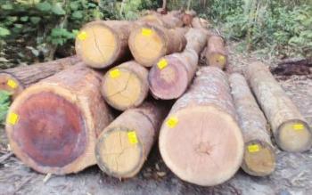 Kayu gelondongan milik PT Tuah Global Mining nyasar di Bansau Desa Lawang Kamah Kecamtan Timpah.