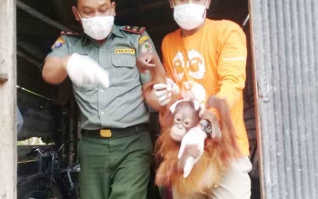 Warga Desa Eka Bahurui Serahkan Anak Orangutan ke BKSDA