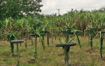 Ratusan batang tanaman buah naga tumbuh subur di atas lahan gambut milik warga Bungur, Kelurahan Baru