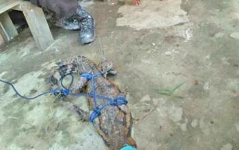 Seekor buaya muara yang ditangkap warga Desa Manduing Taheta.
