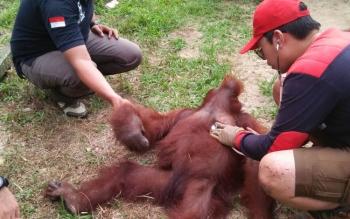 Orangutan sedang diperiksa tim evakuasi saatpenyelamatan di Desa Asam Baru