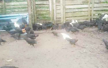 Ayam kampung yang di salurkan Dinas Ketahanan Pangan dan Pertanian (DKPP) Sukamara.