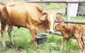 Sapi betina produktif milik Dinas Ketahanan Pangan dan Pertanian Kota Palangka Raya.