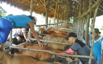 DKPP Sukamara saat melakukan inseminasi terhadap sapi milik warga