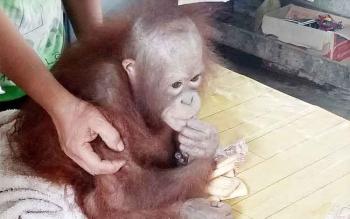 Warga Gunung Mas Serahkan Bayi Orangutan