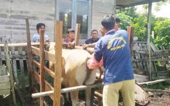 Petugas Dinas Ketahanan Pangan dan Pertanian (DKPP) Kabupaten Sukamara sedang melakukan inseminasi terhadap sapi dengan menggunakan fasilitas kandang jepit