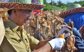 Bupati barito Utara, H Nadalsyah saat memetik Jagung Hybrida saat panen bersama beberapa waktu lalu.