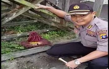 Kapolres Barito Timur AKBP Raden Petit Wijaya saat melihat bungai bangkai di dekat kantornya, Kamis (19/10/2017)