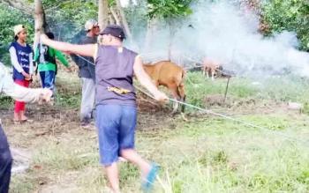 Bantuan bibit sapi bali yang diserahkan kepada kelompok ternak di Kecamatan Sukamara.