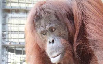 BOSF Nyaru Menteng Bakal Lepasliarkan 12 Orangutan