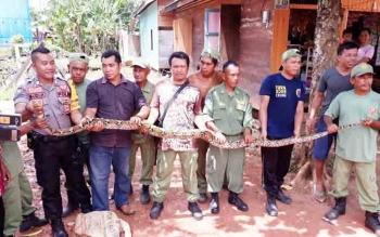 Sejumlah linmas, polisi, dan warga saat memegang ular piton sepanjang empat meter yang berhasil mereka tangkap, Kamis (9/11/2017)