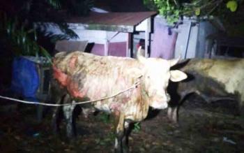 Seekor sapi yang berhasil diselamatkan warga dengan kondisi luka bakar, Selasa (14/11/2017)