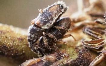 Seperti Apa Aktivitas Kumbang Penyerbuk Tanaman Sawit di Kalimantan Tengah