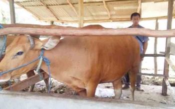 DKPP Saat melakukan pemeriksaan pada sapi.