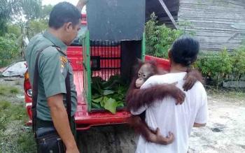 Proses evakuasi orangutan yang dilakukan BKSDA Sampit, Senin (4/12/2017).