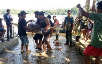 Buaya sapit berukuran dua meter yang ditangkap warga Desa Butong.