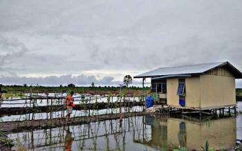 BANJIR : Kondisi Pertanian di Kabupaten Kapuas yang terendam banjir.