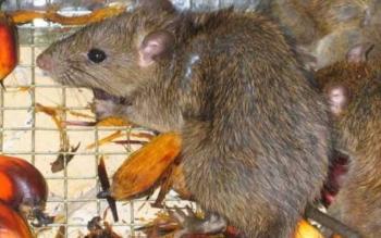 Dinamika Serangan Hama Tikus pada Tanaman Kelapa Sawit
