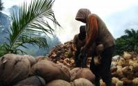 Kotawaringin Timur Siapkan 147 Hektare Lahan untuk Tanam Kelapa