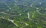 Soal Sertifikat Hambat Replanting Kebun Sawit 185.000 Hektare