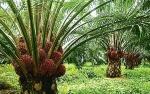Bantuan Dana Replanting Diharapkan Dongkrak Produktivitas