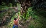 Walhi: Bantuan Dana Replanting Sawit tak Tepat Sararan