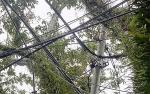 Pohon Tumbang Rusak Jaringan Listrik PLN
