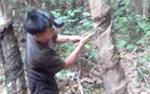 Harga Karet tak Kunjung Membaik Petani di Barito Selatan pun Kelabakan