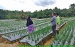 Dinas Pertanian Barito Utara Kembangkan Bawang Merah