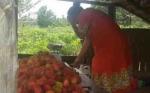 Wow!!! Satu Desa di Kotim ini, Bisa Panen Empat Ton Rambutan per Hari
