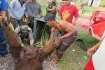 Nyasar ke Kebun Warga, Orangutan Dilumpuhkan Dengan Peluru Bius