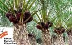Bakrie Sumatera Plantations Fokus Revitalisasi Perkebunan Sawit