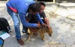 DPKP Gunung Mas akan Lakukan Vaksinasi Rabies di Kelurahan Kurun