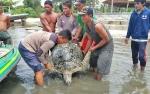 Penyu Hijau Jalani Pengobatan Setelah Tersangkut Pancing Garet Milik Nelayan