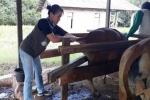 Ini Target Dinas Pertanian Barito Timur Soal Sapi Wajib Bunting
