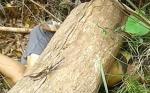 Petani di Mentaya Hulu Tewas Tertimpa Pohon yang Ditebangnya