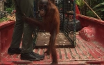 SKW II Pangkalan Bun Terima Penyerahan Orangutan dan Buaya Dari Warga