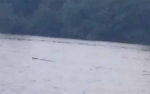 Lagi, Buaya Muncul di Sungai Mentaya