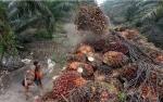 Analis: India Pemicu Jatuhnya Harga CPO