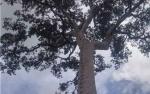 Madu Hutan, Hadiah dari Alam Etalase Jumpun Pambelom