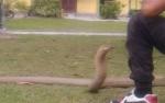 Pemuda Dipatuk King Cobra Akhirnya Meninggal