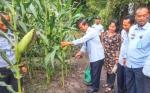 Tanaman Jagung Warga Binaan Rutan Palangka Raya Akhirnya Panen