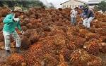 Austindo Nusantara Cetak Pertumbuhan Produksi CPO 28,15%