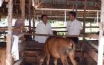 Barito Utara Tingkatkan Sektor Peternakan dan Perkebunan
