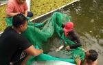 Bupati Kotim Targetkan 100 Ribu Ekor Pembibitan Ikan Jelawat