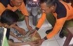 Warga Ketapang Kembali Tangkap Bekantan Hanyut di Sungai Mentaya