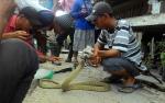 King Cobra 3 Meter Gegerkan Warga Tingang Sedang Kerja Bakti