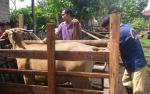 Pemkab Sukamara Terus Pantau Keluar Masuk Hewan Ternak